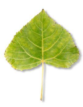 Autumn leaf poplar