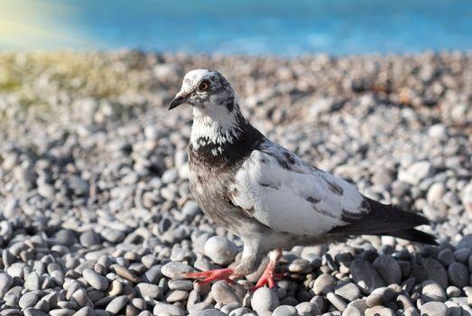 Gray pigeon on the stones