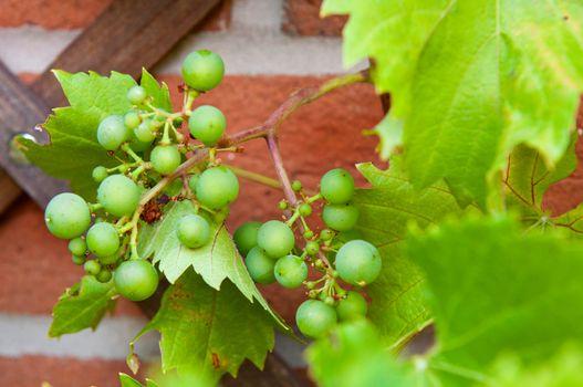 Biological grapes