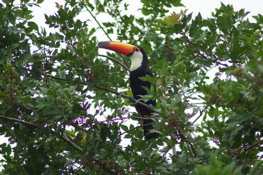 Tukan, Iguazu, Argentina