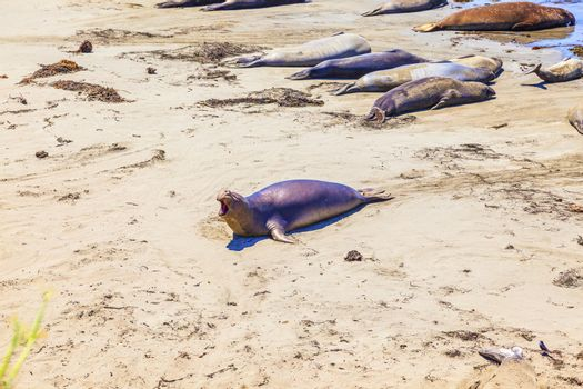 crawling young male Sea lions at the sandy beach