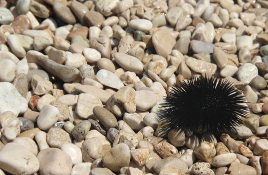 Sea urchin on the coast of Adriatic sea