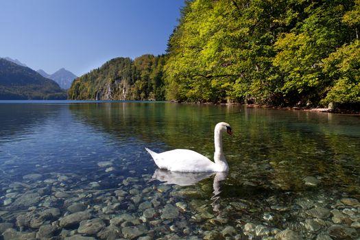 white swan on lake Walchensee
