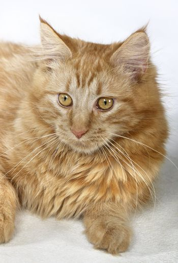 portrait of a young red Maine Coon Cat in light back