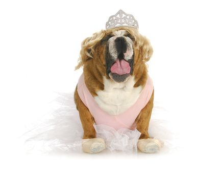 toddlers in tiaras - english bulldog making fun of toddlers in tiaras
