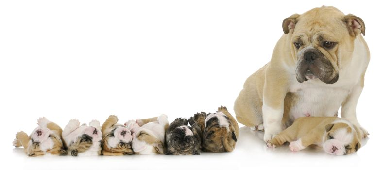 mother and her puppies - english bulldog mother with her puppies