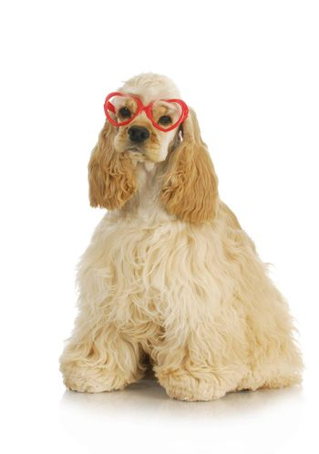 cute puppy - american cocker spaniel puppy wearing heart shaped glasses