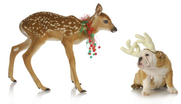 christmas reindeer and puppy - fawn and bulldog puppy dressed up for christmas on white background