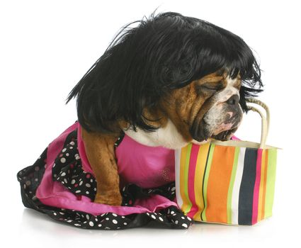 female dog - english bulldog wearing wig and dress sitting beside purse
