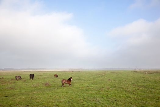 horse and ponies in dutch polder