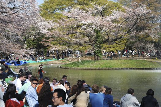 Tokyo, Japan - April 4, 2008: people crowds celebrate cherry blossom in famous Yoyogi park in Tokyo. This is traditional Japanese leisure, it takes place every year during cherry blossom season.