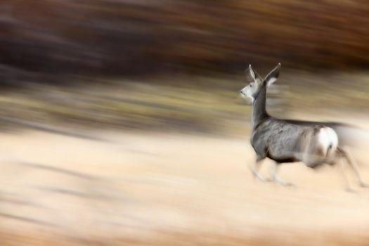 Deer on the run