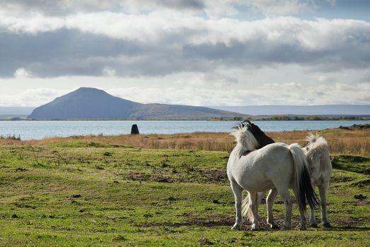 ponies in iceland landscape
