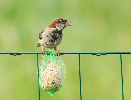 A sparrow is eating on a fence