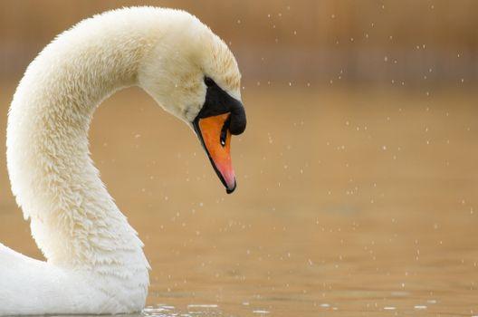 A graceful swan in a lake