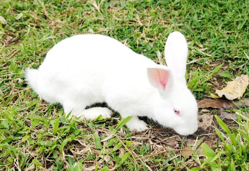White rabbit in a green grass