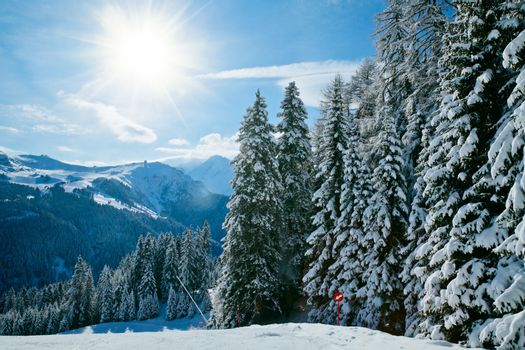 Fir trees on a mountain slope