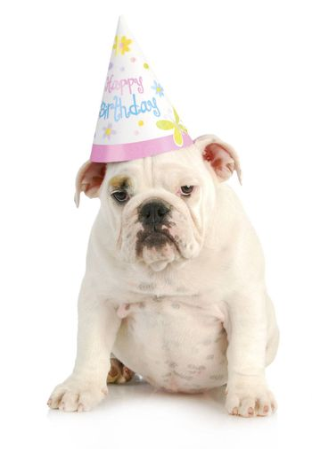 birthday dog - english bulldog wearing birthday hat on white background