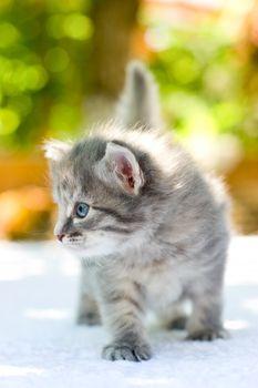 Walking kitten