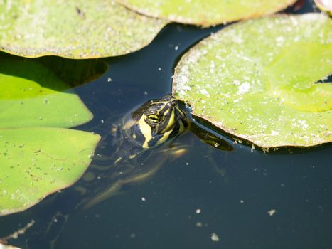 wild turtle in the lake
