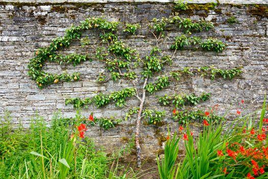 Horizontal espalier pear tree