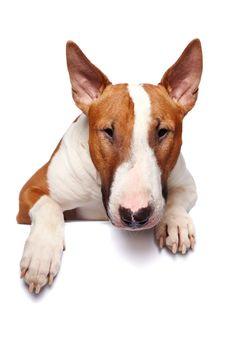 Portrait of a bull terrier