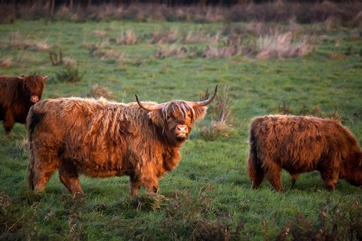 Highland cattle outdoors