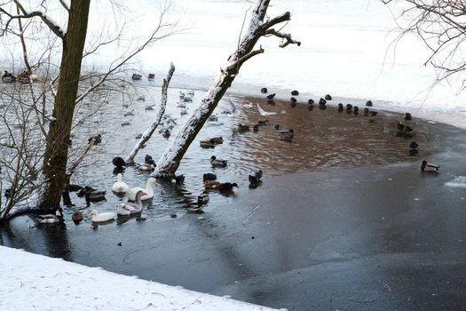 waterfowl on flozen lake