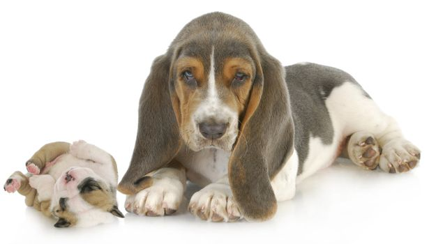 cute puppies - basset hound and english bulldog puppy isolated on white background