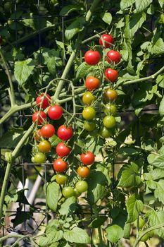 Cherry tomato vine growing up a garden wire trellis with ripe, unripe and semi-ripe fruit.