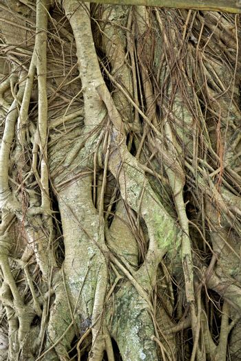 Closeup of the tangled, web of tree roots with new roots growing over old, green ones on a fig tree (ficus) growing in a tropical rainforest in the Philippine Islands.