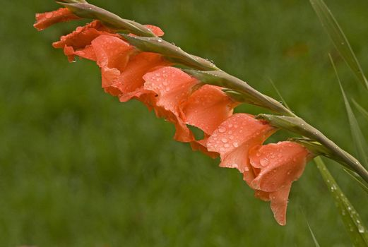 A single stalk of orange colored gladiolus blossoms with water drops on the petals.