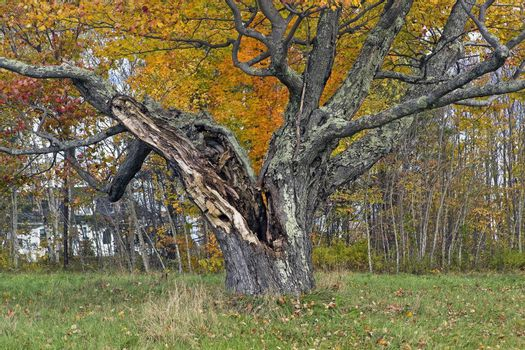 Vintage maple tree trunk split by a lightening strike. Autumn foliage colord leaves.