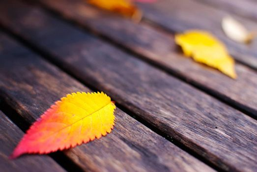 colorful red and yellow autumn leaves on old wooden table