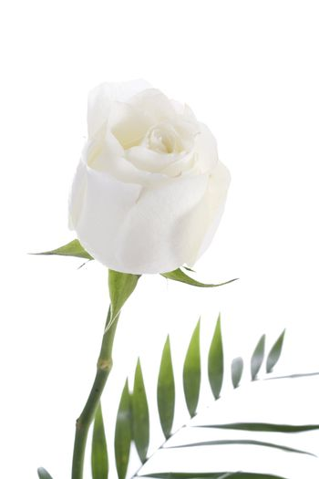 Early morning shot of a beautiful white rose.