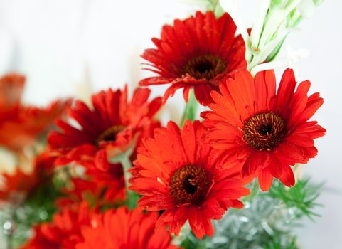 Beautiful Red red daisy flowers   over white background