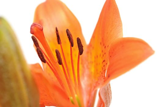 macro yellow orange lily isolated on white