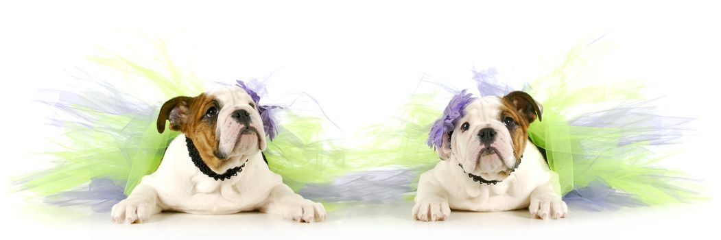 tutu babies - two english bulldog puppies wearing tutu's on white background