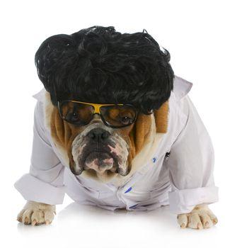 veterinary care - english bulldog doctor on white background