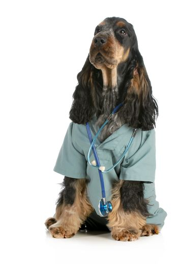 veterinary care - english cocker spaniel dressed up like a veterinarian isolated on white background