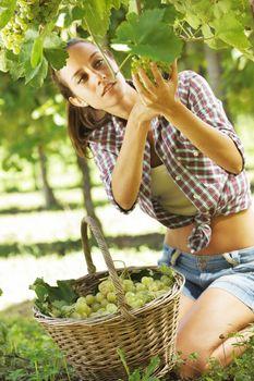 Harvesting the grape