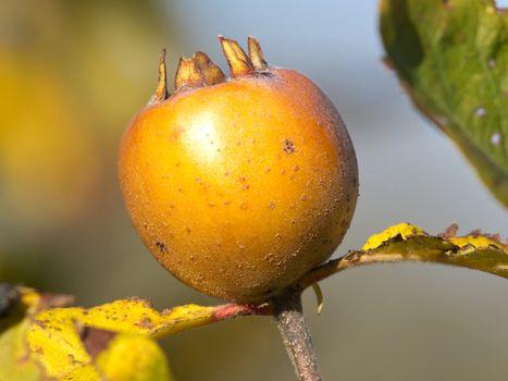yellow medlar fruit on the treee