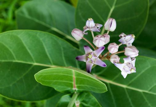 Wild crown flowers (calotropis gigantea)