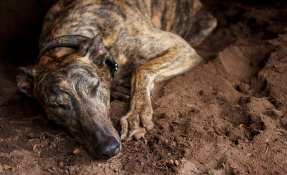 Retired greyhound taking a nap