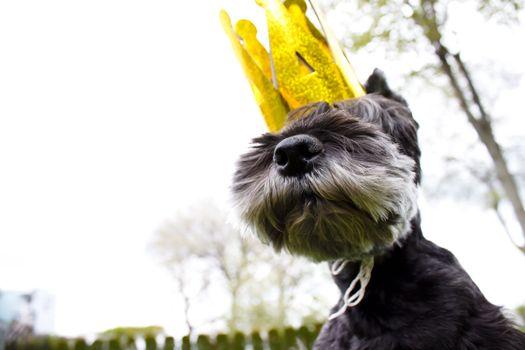 schnauzer wearing king\' crown