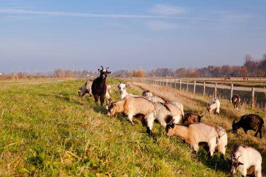 herd of goats outdoors