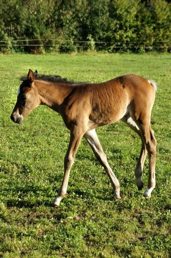 Small funny foal in the nature