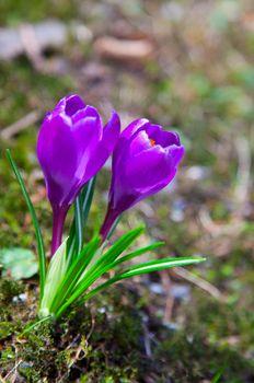 two purple crocus flowers in the springtime