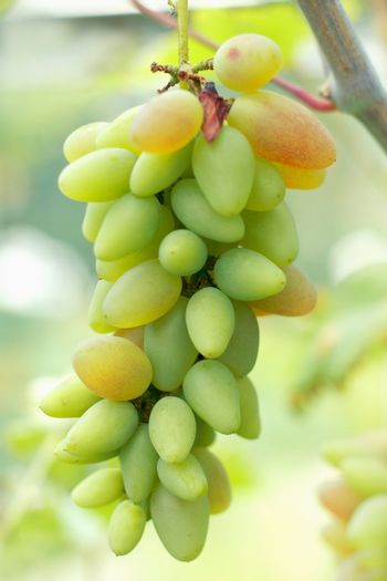 Ripe grapes ready for harvest. Close-up view