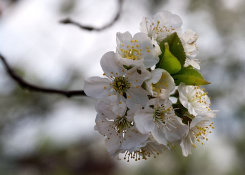 Bud of Cherry Tree